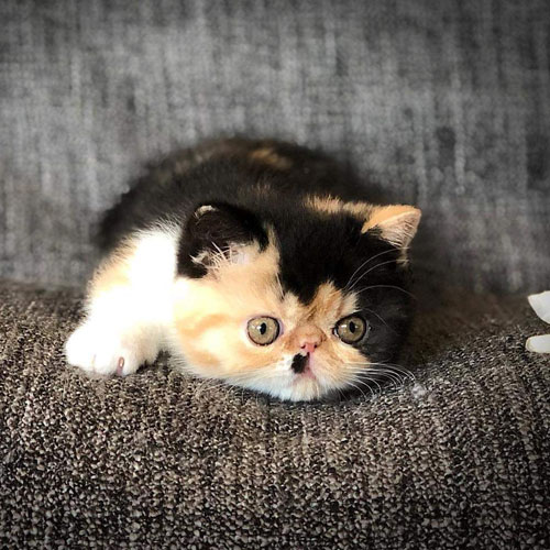 Exotic Shorthair Kittens with OnlyKIttens.com