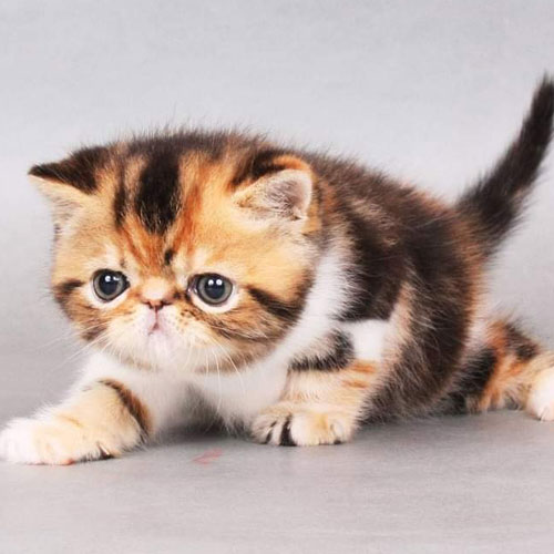 Exotic Shorthair Kittens 2 with OnlyKittens.com