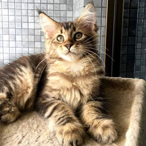 Maine Coon Kittens with OnlyKittens.com